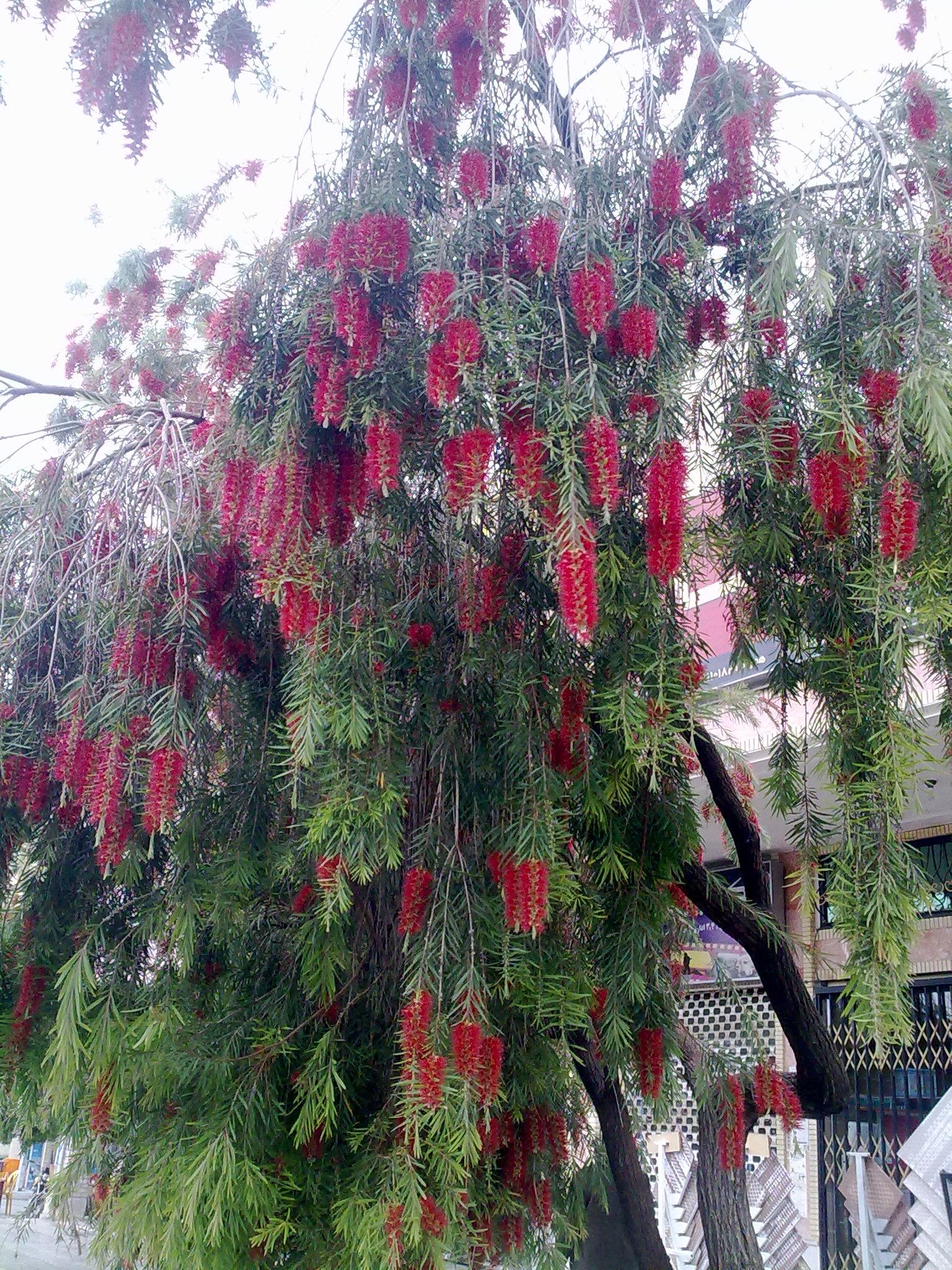 درخت زیبا