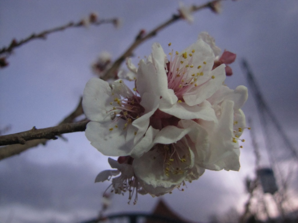 شکوفه های فروردینی